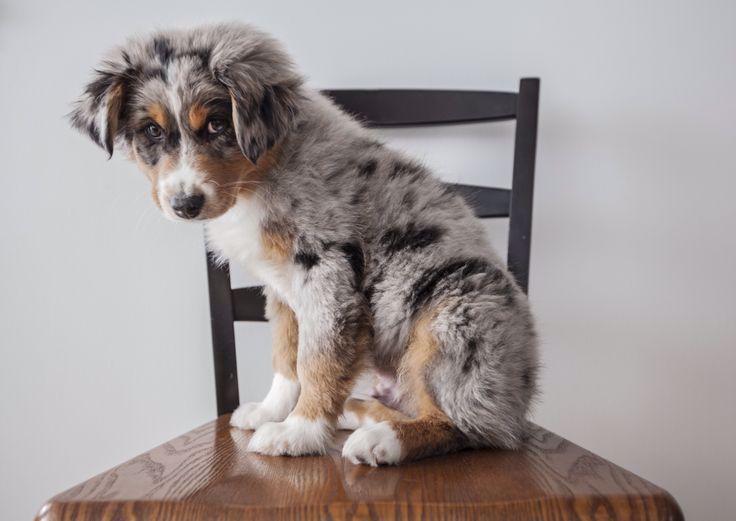 Australische Herder Pups In 2020 Puppies Australian Shepherd Puppies Australian Shepherd Blue Merle