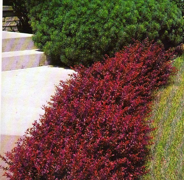 Barberry crimson pygmy landscaping gardens and yards for Flowering landscape plants