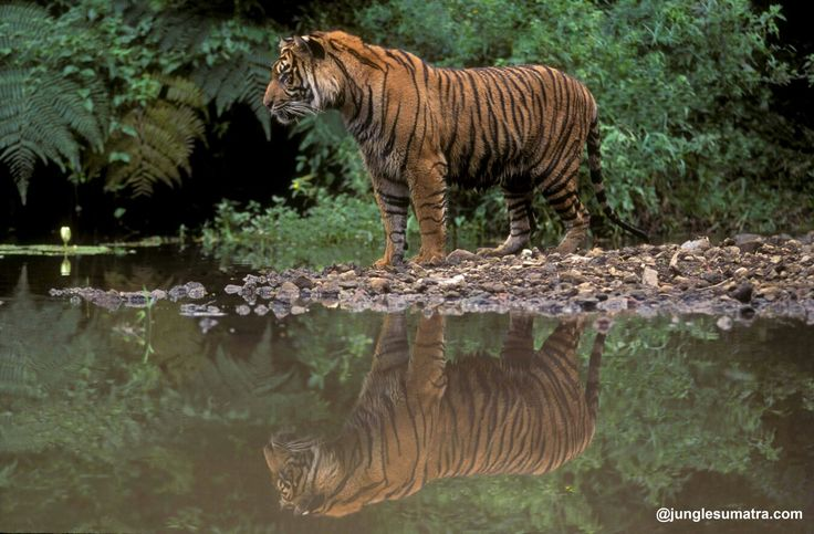 Sumatran Tiger. The Gunung Leuser National Park, is Home of Them.. Start Your Adventure Expediton to See a foot print a Tiger.