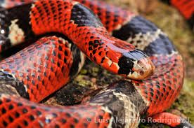Resultado de imagen para serpientes venenosas