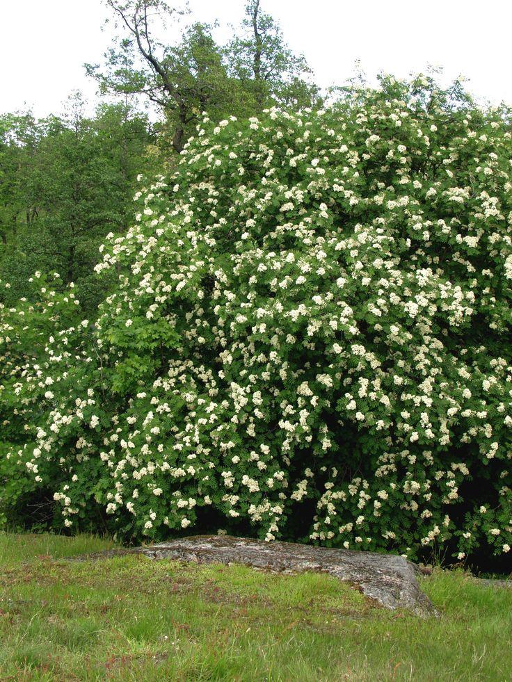 """Kotipihlaja """"Sorbus aucuparia"""""""