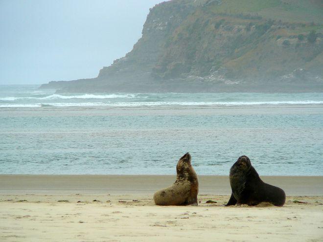 Seals at Surat Bay