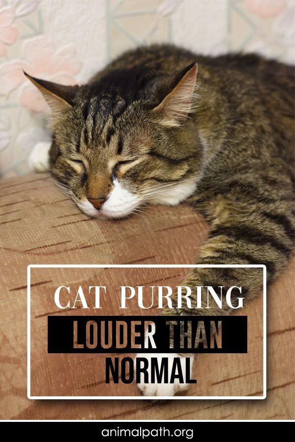 Cat Purring Louder Than Normal In 2020 Cat Purr Cats Why Do Cats Purr