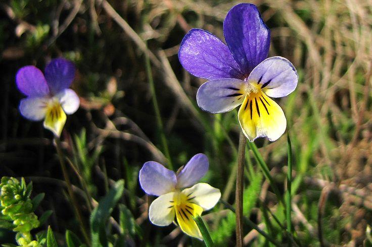 Viola tricolora by Rausch Wilhelm Robert on 500px