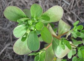 Organic Vegetable Seeds Online - Salad Greens