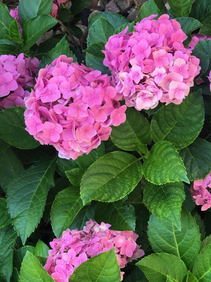 Hydrangeas in houston in 2020 flowers plants hydrangea