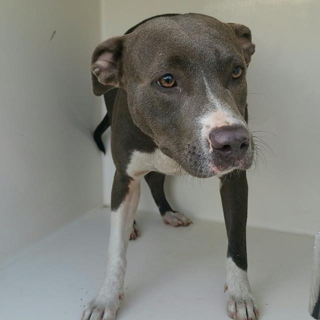 American Pit Bull Terrier dog for Adoption in Houston, TX. ADN-748426 on PuppyFinder.com Gender: Female. Age: Adult #PitBull