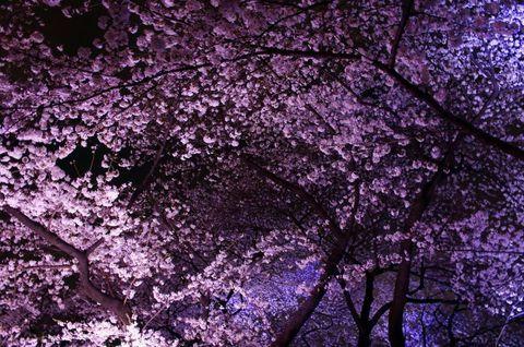 東京・千鳥ヶ淵といえば、都内でも屈指の桜の名所! 御濠沿いの約700メートルの遊歩道に咲き誇る桜は、まさに「桜のトンネル」という表現がピッタリ! その美しさに、ほんの僅かな桜花期にも関わらず、100万人以上が訪れるというから驚きです!日中の桜ももちろん綺麗ですが、特にお勧めしたいのは妖艶な夜桜! 今回は夜桜の魅力と、入場までの待ち時間を短縮するちょっとしたコツをご紹介します。