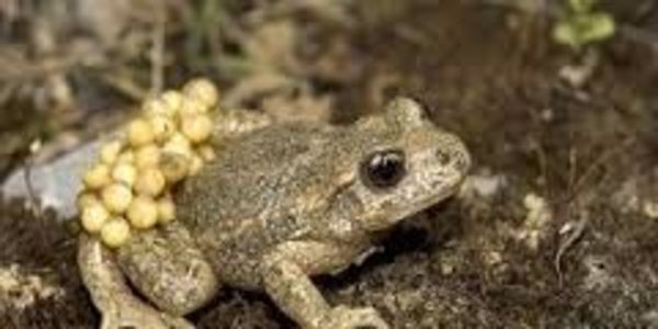 petizione: Give Mid wife toad and yellow bellied toad offical protected status and new re establishment as native species trial reintroduction