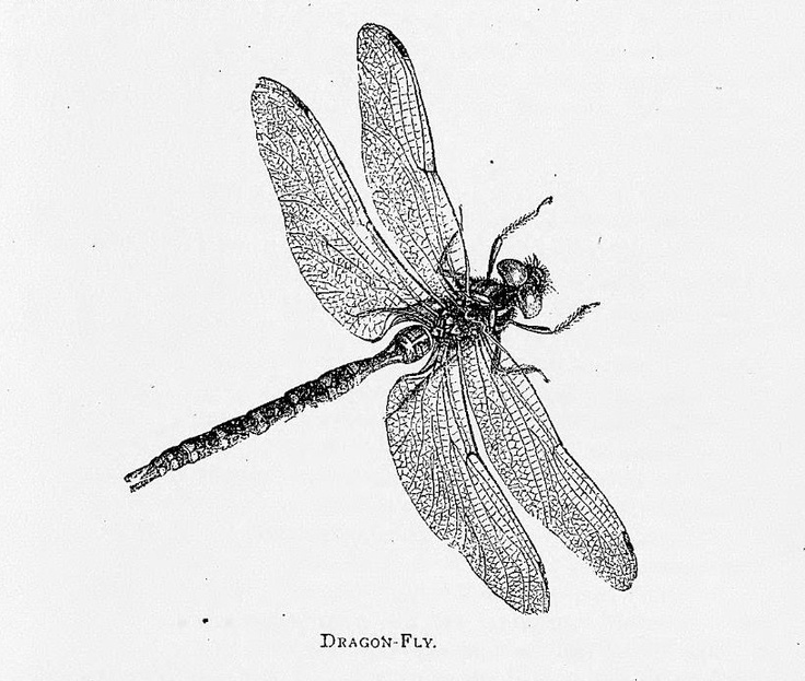 Dragonfly - this is the picture I used for my tattoo
