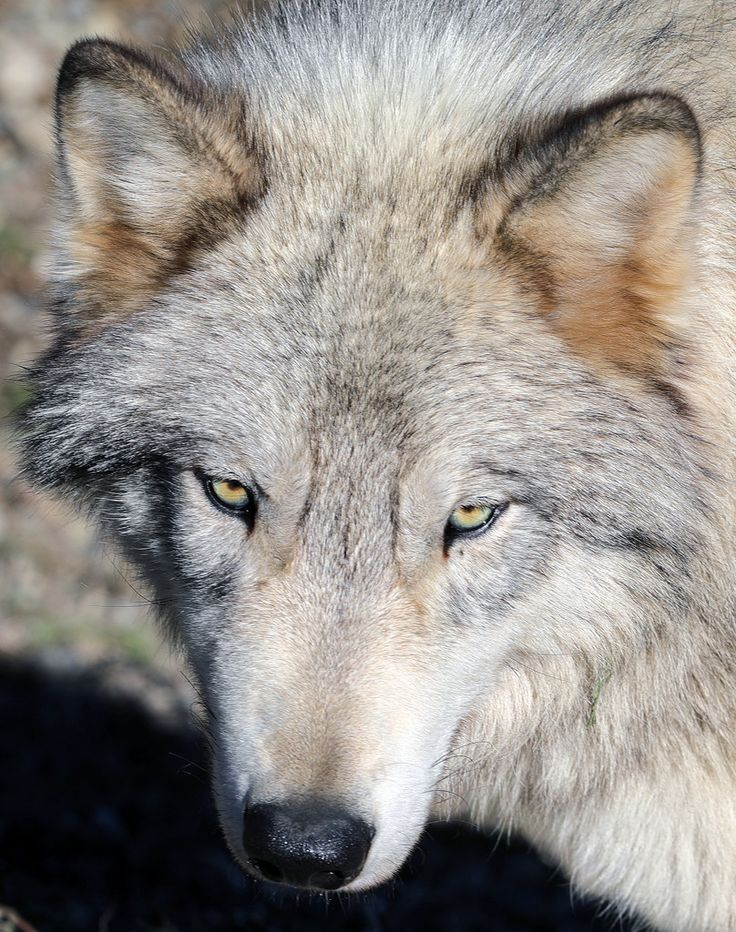 paweesit posted a photo:  The gray wolf or grey wolf (Canis lupus), also known as the timber wolf or western wolf, is a canine native to the wilderness and remote areas of Eurasia and North America. It is the largest extant member of its family, with males averaging 43–45 kg (95–99 lb), and females 36–38.5 kg (79–85 lb). Like the red wolf, it is distinguished from other Canis species by its larger size and less pointed features, particularly on the ears and muzzle Its winter fur is long and…