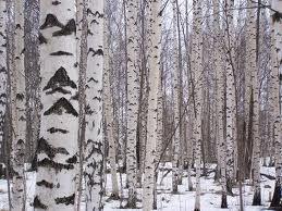 Birch winter scenery