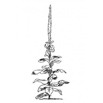 Mauvaise herbe || Manon Paquet || Nature || Plant || Ink on paper || St-Jean-de-Matha || Quebec
