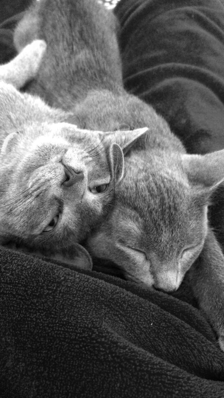 Best 25 Russian blue kitten ideas on Pinterest