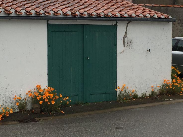 Wild orange poppies in France