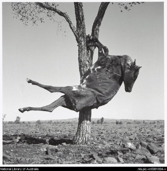 Nolan, Sidney, Sir, 1917-1992. Dried carcass of a cow suspended in a tree, Queensland, 1952 [picture]