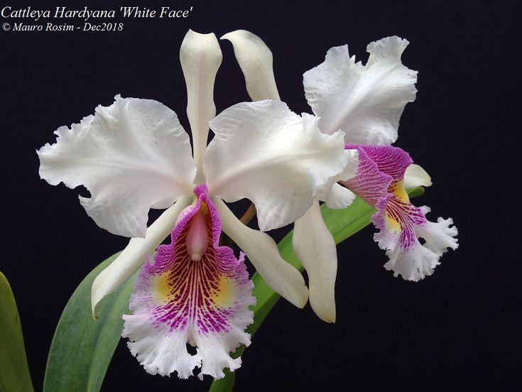 Cattleya Hardyana White Face In 2020 Cattleya Orchid Orchid Flower Cattleya