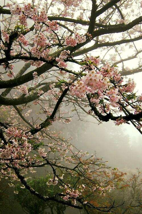 THERE ARE FEW THINGS MORE BEAUTIFUL THAN SPRING CHERRY BLOSSOMS FR;'lmgfave'  (well done site)