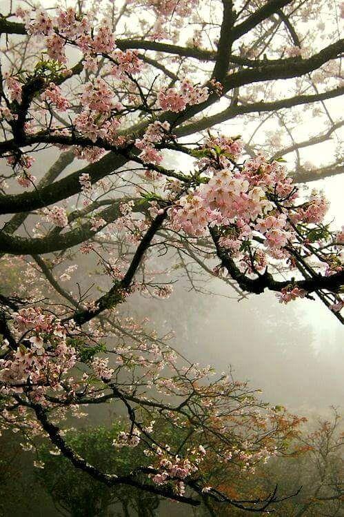 "ridendoescherzando: "" flowering trees """