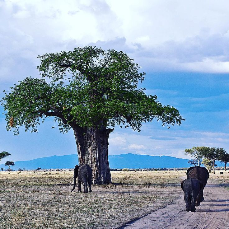 Is there more of a perfect #Tarangire image than this? The #elephants and #baobabs the area is so famous for pictured perfectly together.   Wild Frontiers runs a multitude of #Tanzania safaris including trips to beautiful Tarangire. To book a trip or find out more email reservations@wildfrobtiers.com today.   #africa #safari #WildFrontiers #baobab #elephant