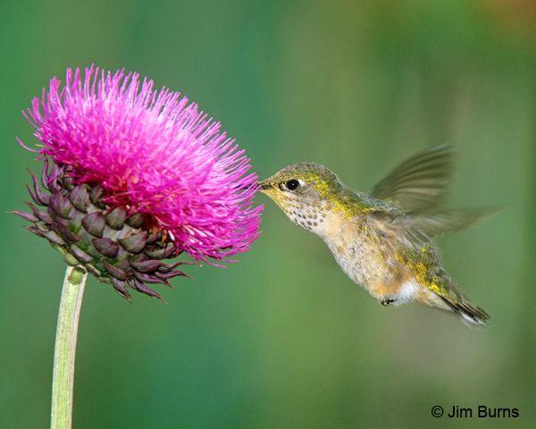 hummingbird - Buscar con Google