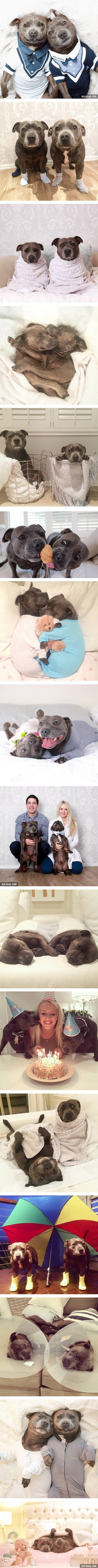 The Most Adorable Pit Bull Brothers Ever