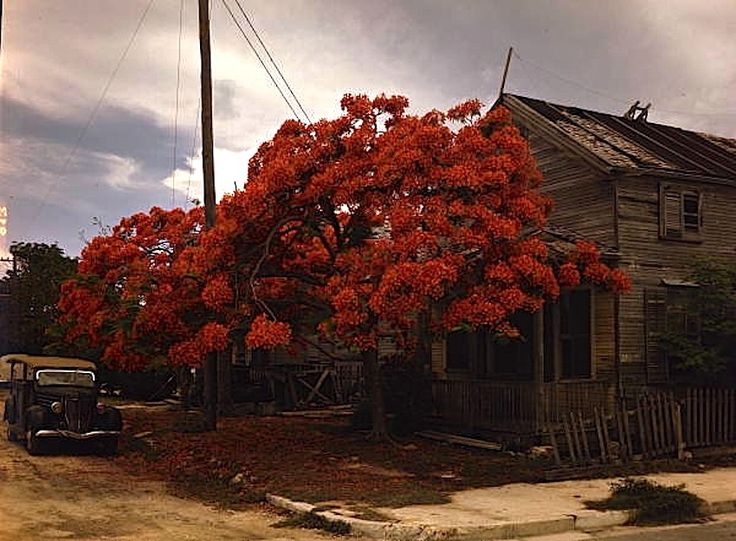 Royal Poinciana (Delonix regia) in bloom, Key West, Florida, ca. 1945, by Joseph Janney Steinmetz, via Florida Memory (State Library and Archives of Florida) Commons on flickr.