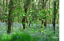 Torrington Commons bluebell woods at Rice Point