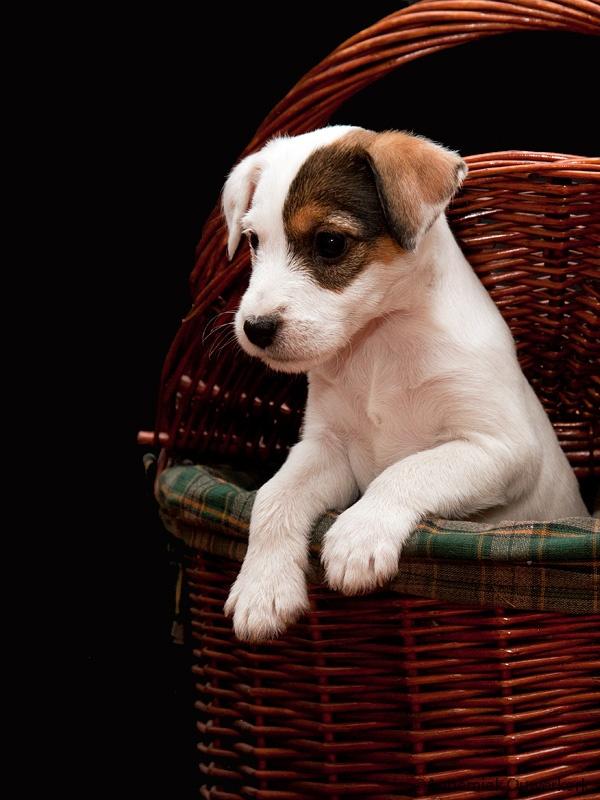 Parson Russell Terrier Puppie
