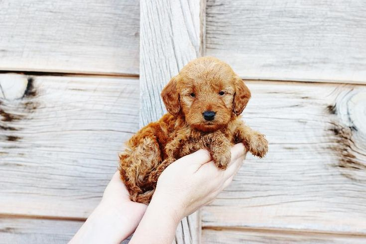 Copper Canyon-Doodles | Mini Goldendoodles