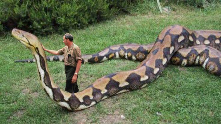 Biggest Python Snake - Giant Anaconda   World's Biggest Snake Found in A...