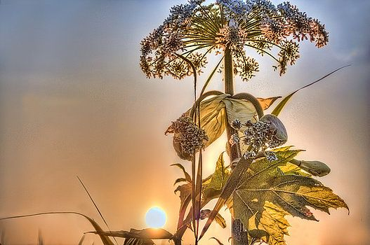 Nadia Sanowar -  A beautiful start to the morning. Sunrise with the sun just above the leaf of the beautiful flowering plant