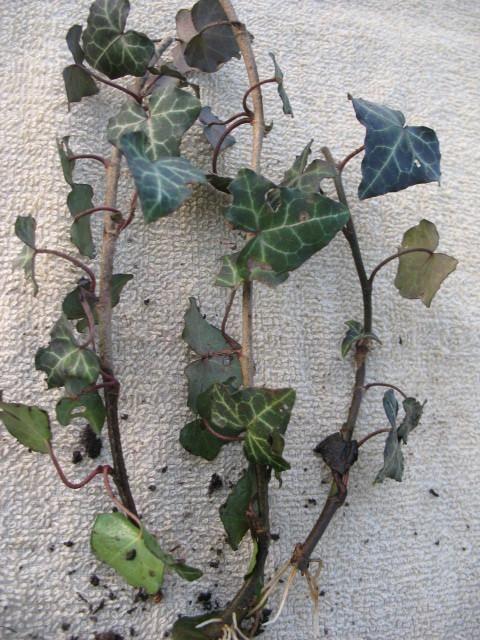 Hedera helix - English Ivy - Kit - 5 pre bonsai trees