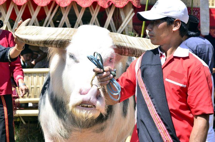 Yandri telah merawat si Belang, kerbau  Tedong Saleko selama tujuh tahun, sehingga kerbau ini hanya menurut kepada penggembalanya saja. Kerbau Tedong Saleko berharga miliaran rupiah karena menjadi bagian penting dalam prosesi ritual adat Toraja, Rambu Solo. Foto : Wahyu Chandra.