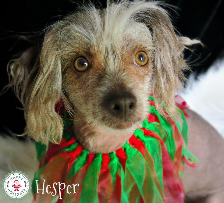 Hesper, the Chinese Hairless.  Christmas 2017