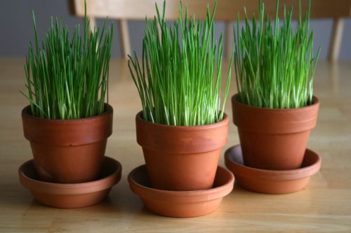 Growing wheatgrass for Easter decor