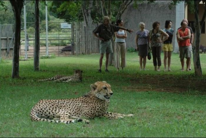 Get up close and personal with cheetahs