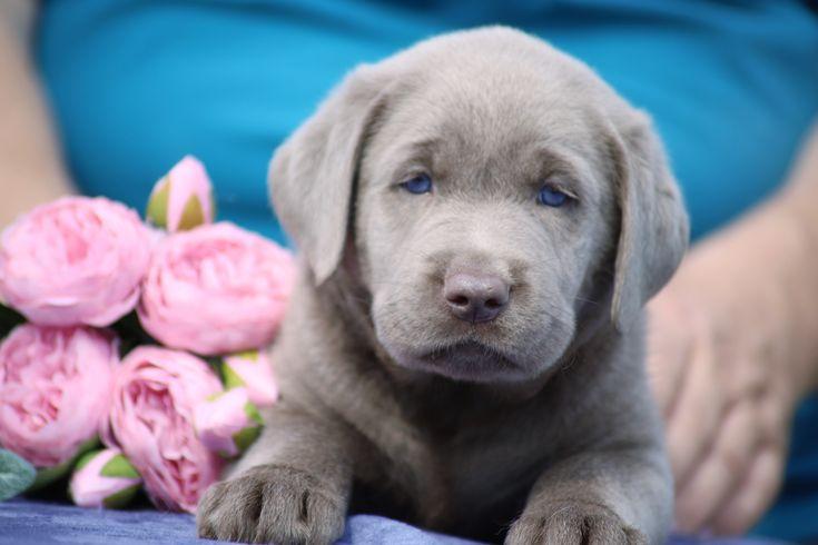 Bob in 2020 puppy adoption puppy finder labrador