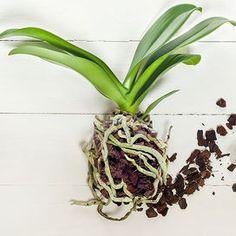 Se la tua orchidea appare sofferente e soprattutto non rifiorisce potrebbe essere perché il substrato in cui è piantata ha perso i suoi valori nutritivi. In questo caso è necessario un rinvaso, meg