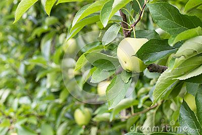 Apples in a large mountain orchards