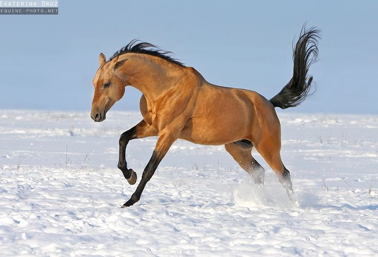 Buckskin/dun Akhal-Teke horse running in the snow - Equine Photography by Ekaterina Druz