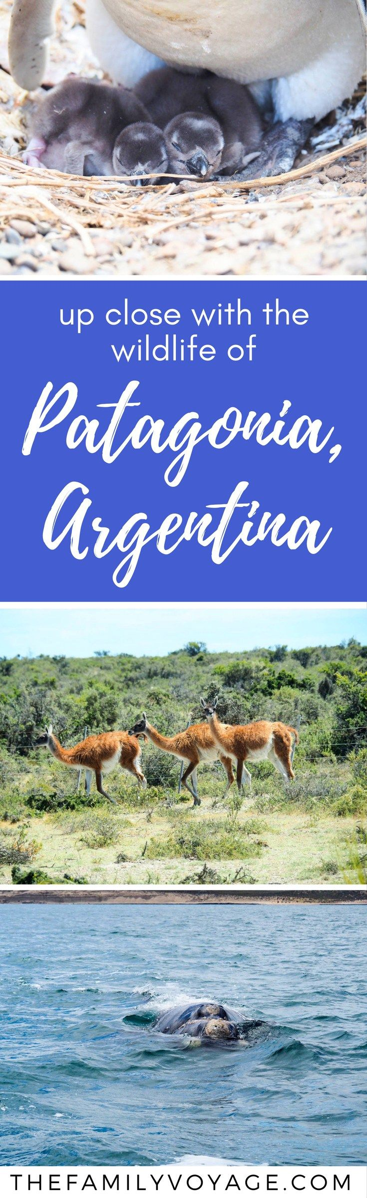 Are you trying to decide where to go in Argentina? Make sure to visit Puerto Madryn in northern Patagonia for an amazing wildlife tour! If you're wondering where to see penguins, this tour takes you to UNESCO Heritage Site Estancia San Lorenzo (even better than Punta Tombo!). You'll go whale watching, eat at a traditional estancia, walk with penguins and more in just one day. #Argentina #Patagonia #PuertoMadryn #wildlife #animals #travel #familytravel