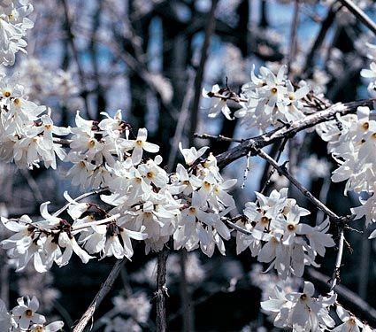 Abeliophyllum distichum - White Flower Farm
