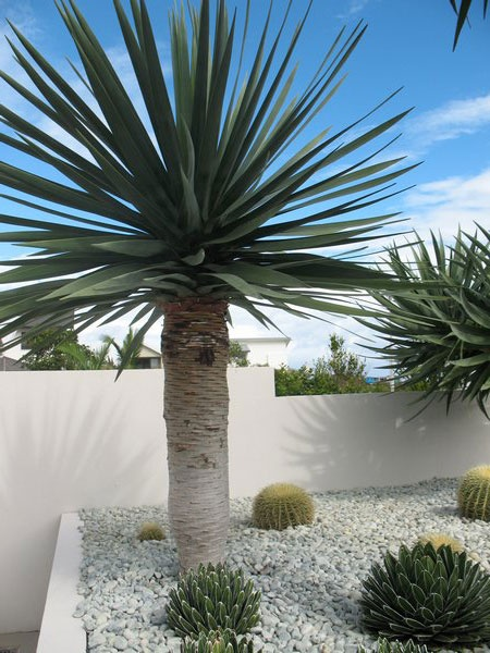 Dragon Tree (Dracaena draco) White stones and succulents