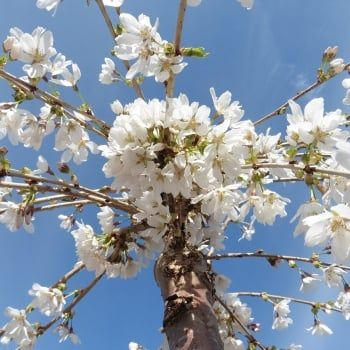 Prunus 'Snow Showers' or 'Hillings Weeping' is ideal for small gardens. Available at www.ornamental-trees.co.uk
