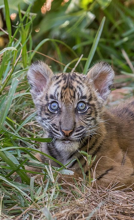 """sdzsafaripark: """" Sumatran tiger cub Suka by Bob Worthington With the addition of Suka, we're now home to 7 Sumatran tigers. There are fewer than 350 Sumatran tigers in Sumatra, and that number continues to drop. The species could be extinct in..."""