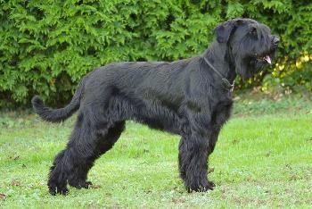 Variedades de la Raza Schnauzer – Gigante Mediano Miniatura http://www.mascotadomestica.com/articulos-sobre-perros/variedades-de-la-raza-schnauzer-gigante-mediano-miniatura.html
