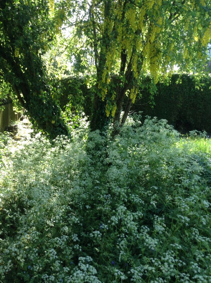 Cow parsley and laburnum in the garden