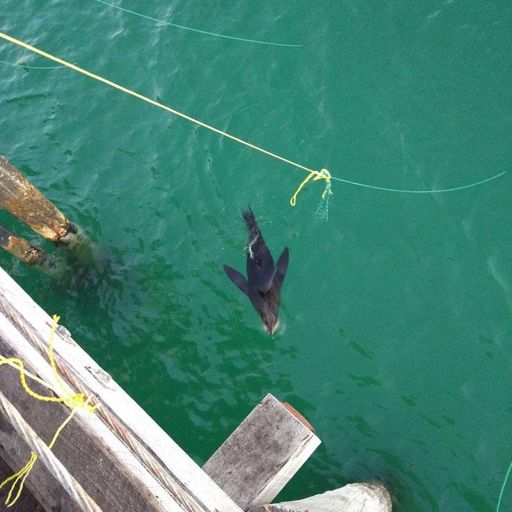 This cheeky sea lion is having fun raiding the crab nets #sealion #jetty #crabbing #grange #sea #adelaide #travelphotography #roadist