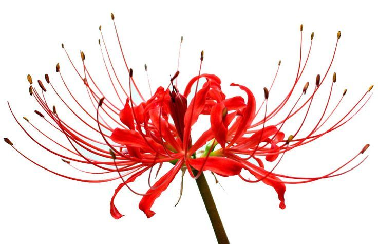 I want to saw this red spider lily | Flowers | Pinterest | Spiders ...